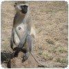 Un singe vervet qui attend de la nourriture à Nairobi