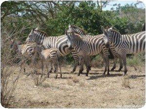 Des zèbres à Nairobi