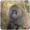 Un babouin dépressif ??