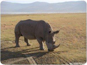 Le dernier rhino (avant de partir). Il était juste derrière nous !