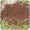 Siafu - la fourmi safari