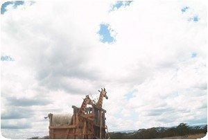 Girafes en voiture à Nakuru