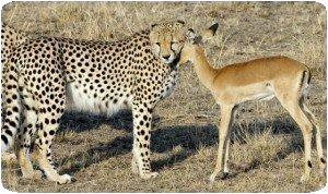 Guépard et impala....