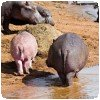 Hippopotame rose / albinos