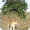 Lion au Maasai Mara (Kenya)