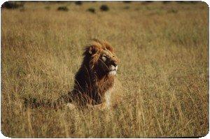Lion au Maasai Mara