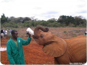 Elephanteau buvant un biberon