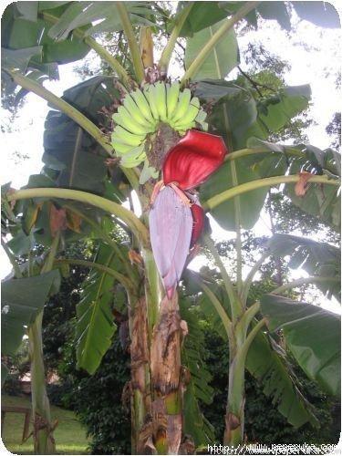 Un régime de bananes très jeune