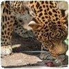 Le léopard pousse le rat !!