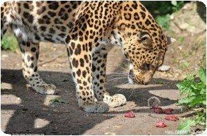 Le léopard regarde le rat !!