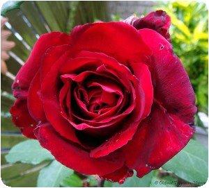 Rose rouge du Kenya