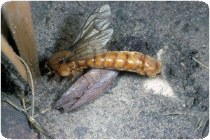 Dorylus séxué - Sausage fly ou fourmi DSK