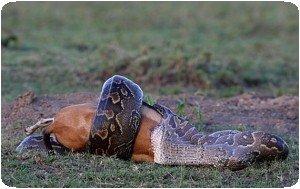 Tony Crocetta - Python mangeant un impala