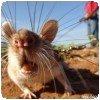 Pourquoi des rats ??