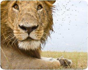BeetleCam Lion Flies
