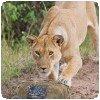 Lioness Pinning BeetleCam