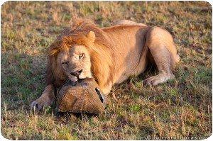 Lion Biting BeetleCam