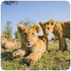 BeetleCam Lion Cubs