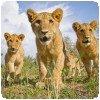 Four Cubs
